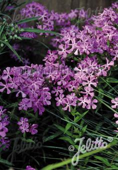PHLOX pilosa   Portion(s)