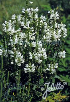PHYSOSTEGIA virginiana  'Alba' Portion(s)