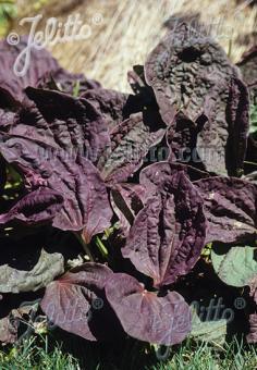PLANTAGO major  'Purpurea' Portion(s)