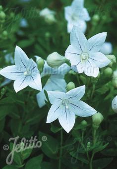PLATYCODON grandiflorus apoyama  'Fairy Snow' Portion(s)