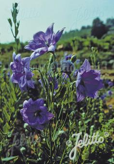 PLATYCODON grandiflorus  'Hakone Blue' Portion(s)