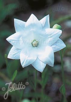 PLATYCODON grandiflorus  'Hakone White' Portion(s)