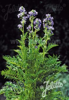 POLEMONIUM caeruleum  'Filigree Skies' Portion(en)