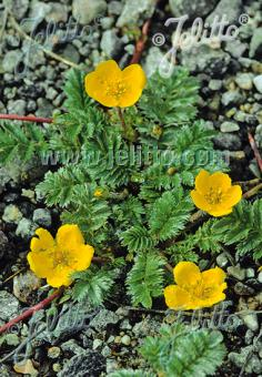 POTENTILLA anserina   Portion(s)