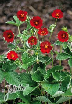 POTENTILLA atrosanguinea var. argyrophylla  'Scarlet Starlit' Portion(en)