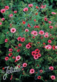 POTENTILLA nepalensis  'Ron McBeath' Portion(s)