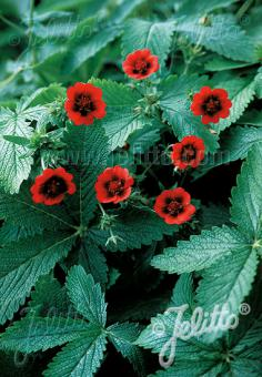 POTENTILLA thurberi  'Monarch's Velvet' Portion(s)