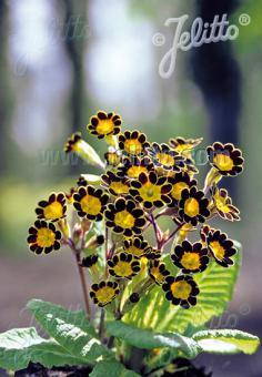 PRIMULA Elatior-Hybr.  'Gold Lace' Portion(s)