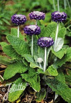 PRIMULA capitata ssp. mooreana   Portion(s)
