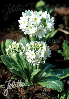 PRIMULA denticulata var. alba  'Weiße Auslese' Portion(s)