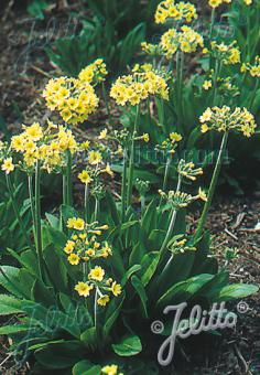 PRIMULA luteola   Portion(s)