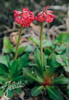 PRIMULA maximowiczii   Portion(s)