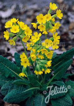 PRIMULA veris ssp. columnae   Portion(s)