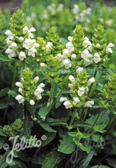 PRUNELLA grandiflora  'Alba' Portion(s)