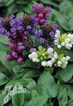 PRUNELLA grandiflora  Mixture Portion(s)