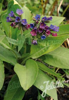 PULMONARIA officinalis   Portion(s)