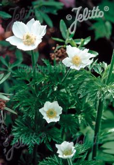 PULSATILLA alpina   Portion(s)