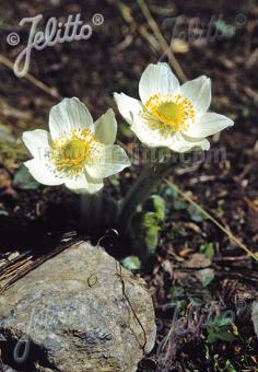 PULSATILLA occidentalis   Portion(s)
