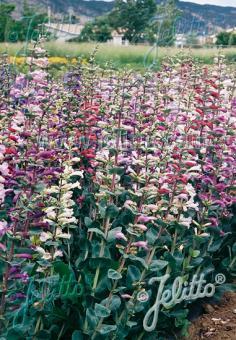 PENSTEMON grandiflorus  Prairie Jewel® Seeds