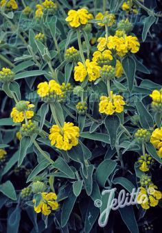 PHLOMIS fruticosa   Seeds