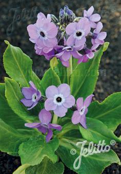 PRIMULA sinopurpurea   Seeds