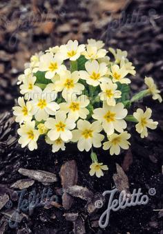 PRIMULA vulgaris  wild form Seeds