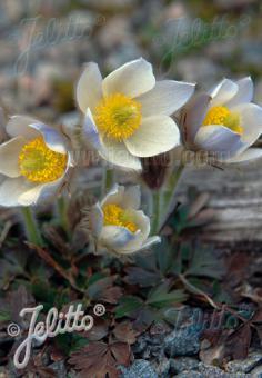 PULSATILLA vernalis   Seeds