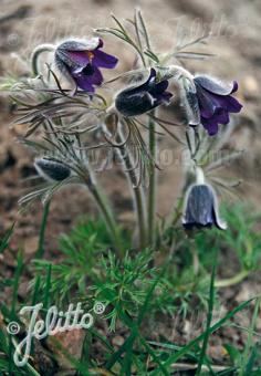 PULSATILLA pratensis ssp. nigricans   Portion(s)