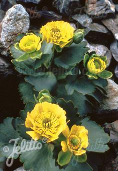 RANUNCULUS haastii ssp. piliferus   Portion(s)
