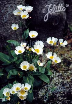 RANUNCULUS parnassifolius   Portion(s)