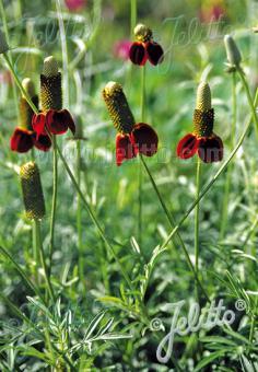 RATIBIDA columnifera f. pulcherrima  'Red Midget' Portion(s)