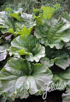 RHEUM rhabarbarum (x hybridum)   Portion(s)