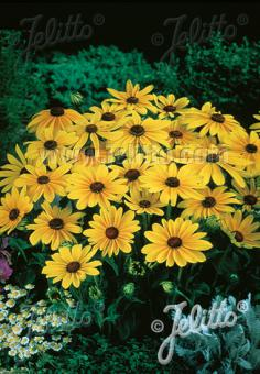 RUDBECKIA hirta  'Indian Summer' Portion(s)