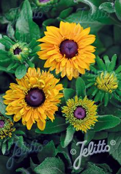 RUDBECKIA hirta  'Goldilocks' Portion(s)