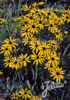 RUDBECKIA missouriensis   Portion(en)