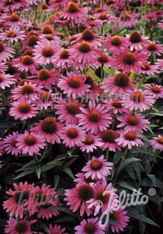 ECHINACEA purpurea  'Magnus Superior' Portion(s)
