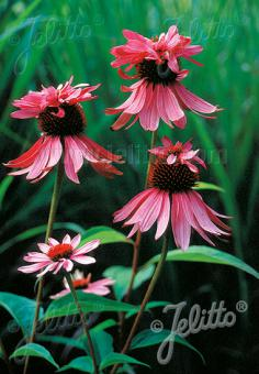 ECHINACEA purpurea  'Doubledecker' Portion(s)