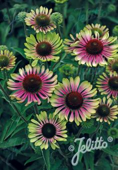 ECHINACEA purpurea  'Green Twister' Portion(en)