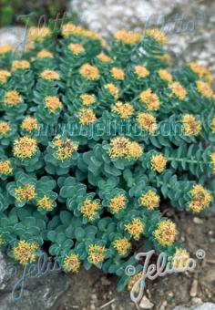 RHODIOLA rosea   Seeds