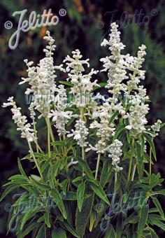 SALVIA farinacea  'Victoria Weiß' Portion(en)