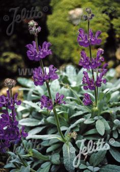 SALVIA daghestanica   Portion(s)