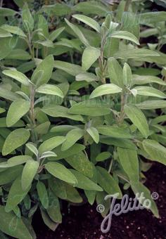 SALVIA officinalis   Portion(s)