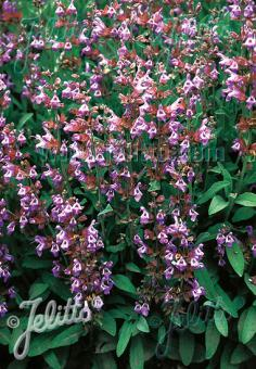 SALVIA lavandulifolia   Portion(s)