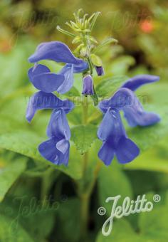 SALVIA patens  'Blue Angel' Portion(s)