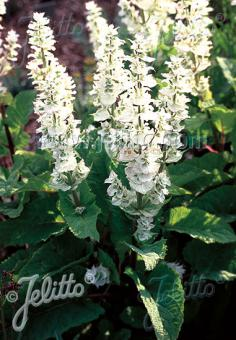 SALVIA sclarea var. turkestanica  'Vatican White' Portion(s)