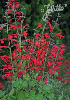 SALVIA roemeriana  'Arriba'(TM) Portion(en)