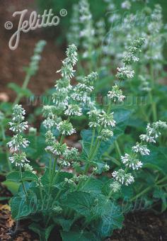 SALVIA verticillata  'Alba' Portion(s)