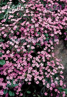 SAPONARIA ocymoides   Portion(s)