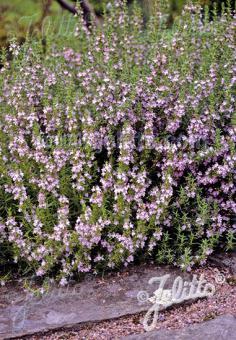 SATUREJA montana   Portion(s)