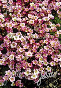 SAXIFRAGA x arendsii  'Blütenteppich' Portion(s)